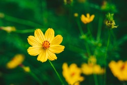 Close-up of yellow starburst flowers and beautiful green bokeh. Flower garden