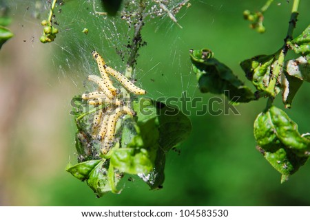 close-up of yellow vermin eating leaves - stock photo