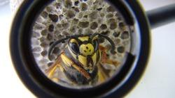 Close up of yellow wasp face