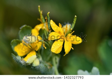 Close up of yellow wild flower in Danubian meadow, Slovakia, Europe #1432327793
