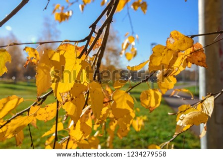 Close-up of yellowed foliage, yellowed birch foliage, autumn foliage #1234279558
