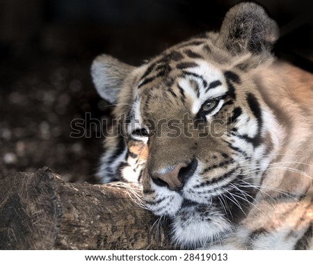 Close up of young adult tiger's face in a zoo.