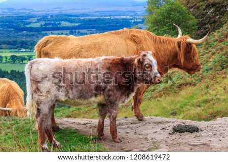 Close up of young and adult Highland Scottish Cattle in Conic Hill
