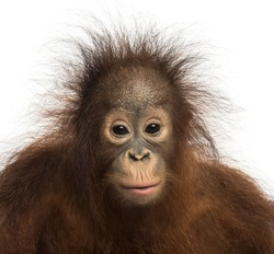 Close-up of young Bornean orangutan facing, looking at the camera, Pongo pygmaeus, 18 months old, isolated on white