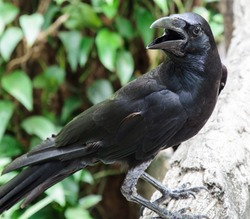 Close up of young crow in the zoo.
