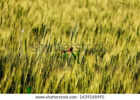 close up of young green wheat on the field,wheat on  bird,sparrow Bird on wheat field