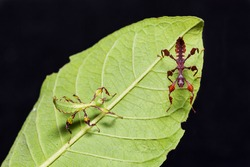 Close up of young leaf insect (Phyllium westwoodi) on their host plant leaf