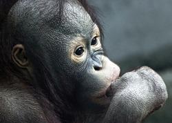 Close up of young orangutan (Pongo pygmaeus)