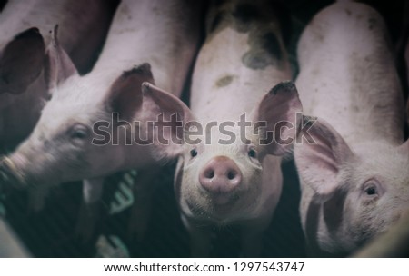 Close up of young piglet's snout in pigpen. Curious and cute baby animals