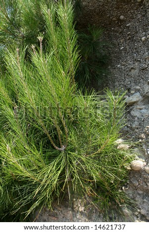 Close-up of young pine on a rock.