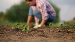 Close-up of young seedlings of pepper in a vegetable garden, in the background a farmer plants seedlings, soft focus