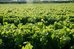 Close up of young vines in vineyard. Grape seedlings at sunset. Vine nursery and winery. Young grape shoots available for sale. Plantation. Cultivation of vines on field.