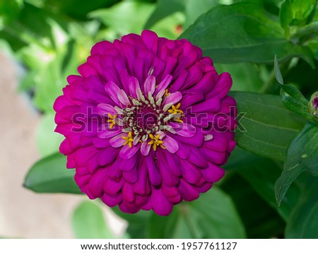 Close up of Zinnia flower (Scientific name Zinnia violacea Cav.)