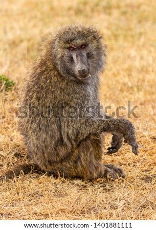Close-up Olive baboon, anubis baboon, Papio anubis, close-up side view face body hands, dry yellow grass, Ol Pejeta Conservancy, Kenya, East Africa
