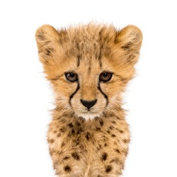 Close-up on a facing three months old cheetah cubs, isolated on white