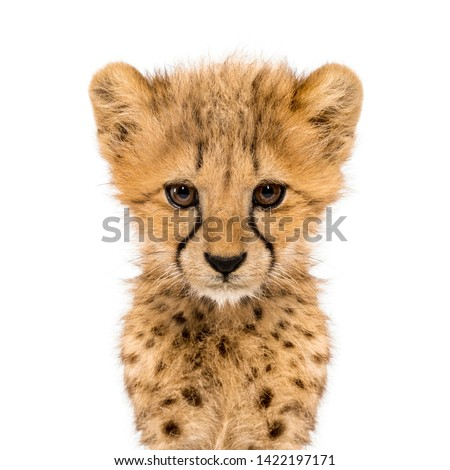 Close-up on a facing three months old cheetah cubs, isolated on white Stock photo ©