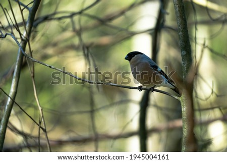 Close-up on a female Bullfinch perched on a branch in a Swedish forest. Photo stock ©