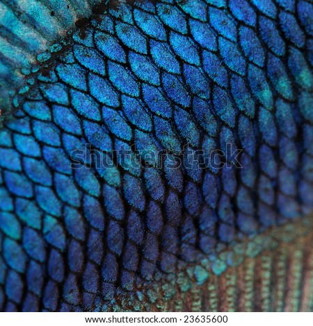 Close-up on a fish skin - blue Siamese fighting fish - Betta Splendens in front of a white background