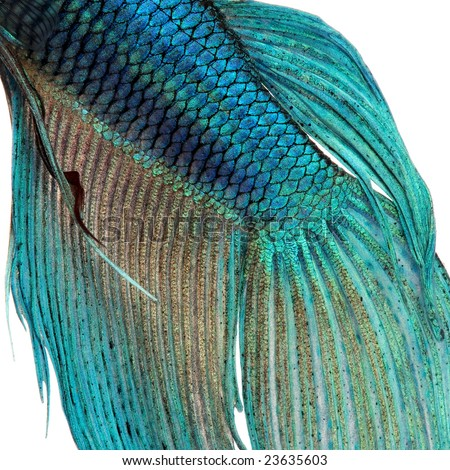 stock photo Closeup on a fish skin blue Siamese fighting fish