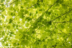 Close up on a fresh green leaves of European beech also called common beech tree