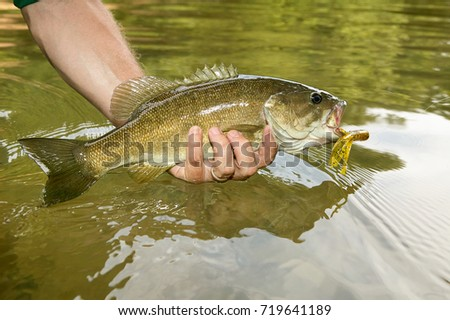 Close up on a freshly caught smallmouth bass ith a flure and hook in its mouth in the hand of a fisherman displaying it over the water in the river