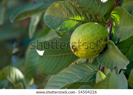 Close up on a guava on a tree