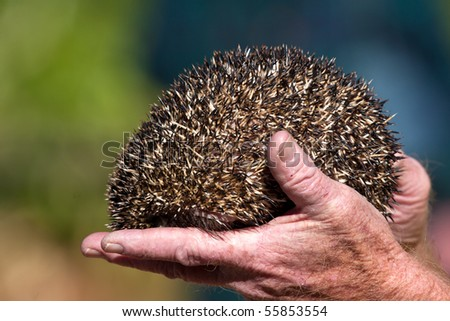 Close up on a hedgehog in a hand