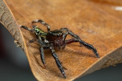 Close up on a jumping spider isolated on dead brown leaf.