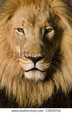 Close-up on a Lion's head (4 and a half years) - Panthera leo in front of a white background - stock photo