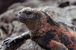 Close-up on a marine iguana resting among the rocks one of the Galápagos Islands.