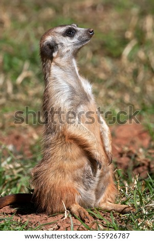 Close up on a meerkat standing upright
