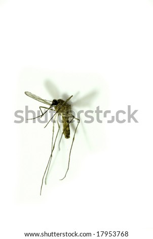 close up on a mosquito