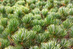 Close up on a natural background covered with green pine thorns on a pine