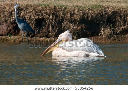 Close up on a pelican swimming in a lake