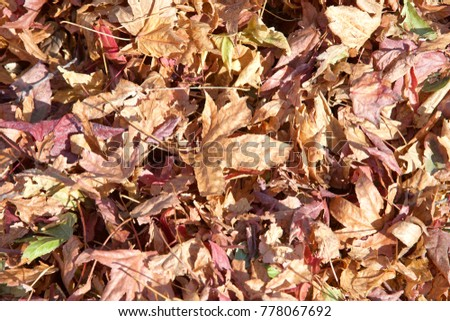 Close up on a pile of autumn leaves fallen to the ground from American sweetgum tree (Liquidambar styraciflua), a deciduous tree in the genus Liquidambar.