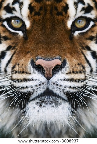 close-up on a Tiger's face