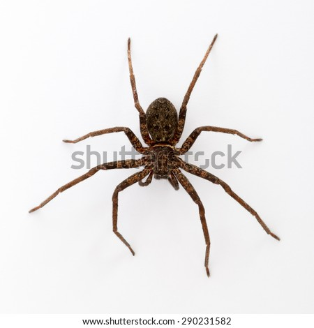 Close up on an asian wolf spider isolated on white background #290231582
