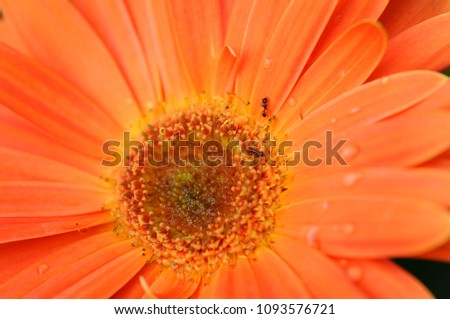 Close up on an orange daisy with some water drops.  #1093576721