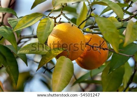 Close up on an orange on a tree