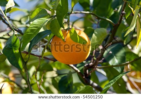 Close up on an orange on a tree