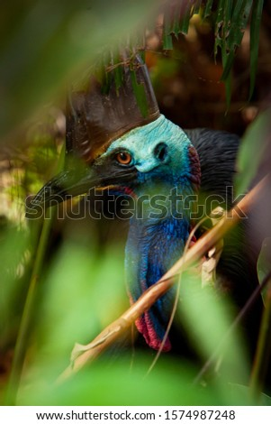 close up on ancient Cassowary Bird face, crane, and long eyelashes, genus Casuarius, are ratites native to the tropical forests of New Guinea, East Nusa Tenggara, Maluku Islands and north qld Aust. #1574987248