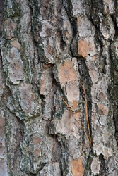Close up on bark from a southern loblolly pine tree, also known as a yellow pine