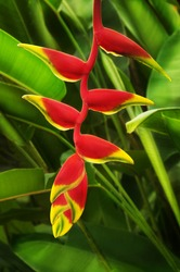 Close up on beautiful tropical plant red heliconia