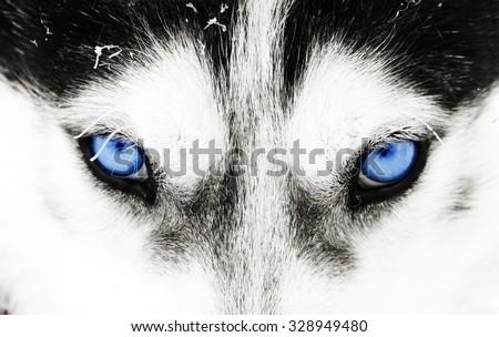 Close up on blue eyes of a husky dog #328949480