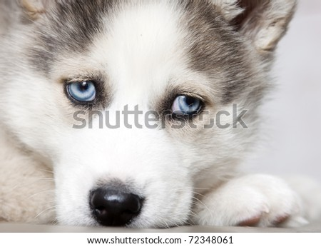 Cutehuskypuppies Wallpaper on Photo Close Up On Blue Eyes Of Cute Siberian Husky Puppy 72348061 Jpg