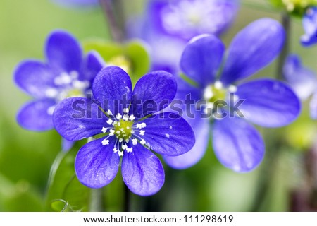 Close-up on blue flowers