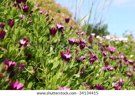 close up on carped of purple daisy flowers and grass