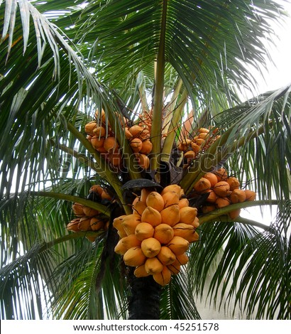 Close up on coconut tree with a bunch of yellow fruits hanging