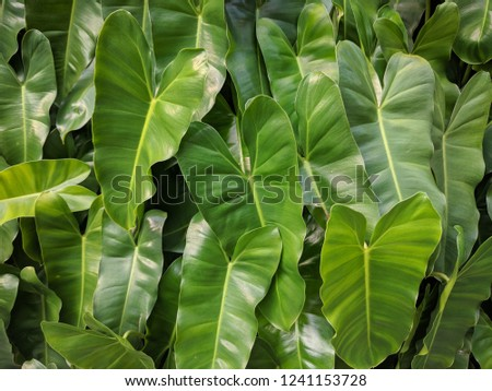 Close up on cute heart shaped leaves of Heart leaf philodendron (Philodendron scandens), sweetheart plant #1241153728