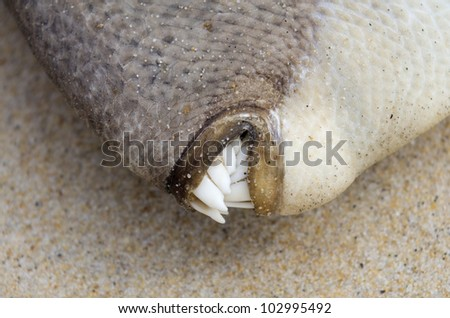 Fish  Teeth on Close Up On Dead Trigger Fish Teeth Stock Photo 102995492